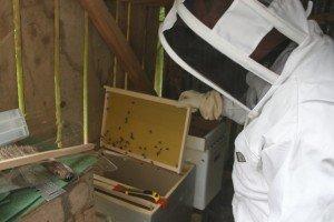 Première visite, et changement de ruche. v1-300x200