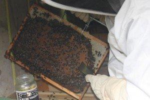 Ouverture de la ruche n°2 IMG_9217-300x200